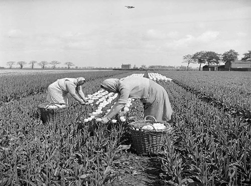 Picking tulips near Fulney, Spalding, Lincolnshire