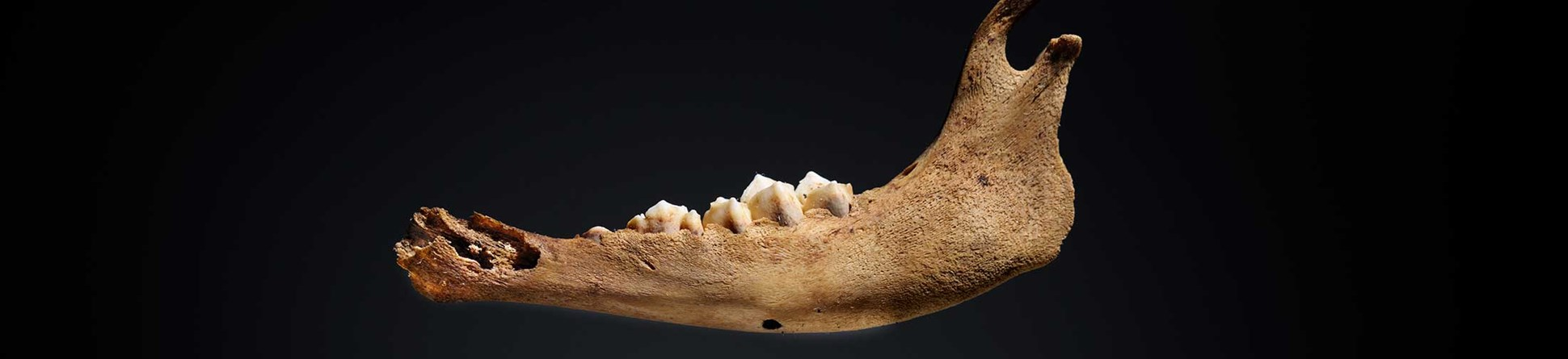 Photograph of very young lamb mandible.