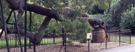 Tree propping at Kew Gardens, Surrey: Although a less favoured option for tree management, it may be considered necessary to allow important trees to be kep safe in well used public areas.
