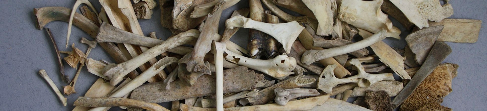 photograph of archaeological animal bones