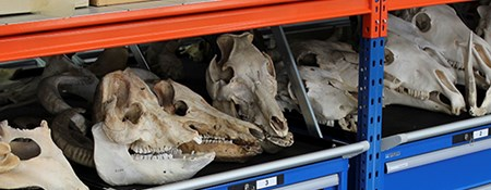 Photograph of animal skulls and other bones